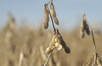 buy soybeans, non gmo, ip soybean