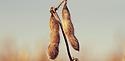 soybean, callingwood, canadian soybeans, soybeans