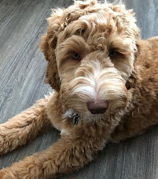 Brown & Cream Australian Labradoodle Laying On The Floor