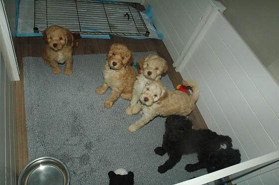 Labradoodles Austin | WALA | Hypo-Allergenic Puppies