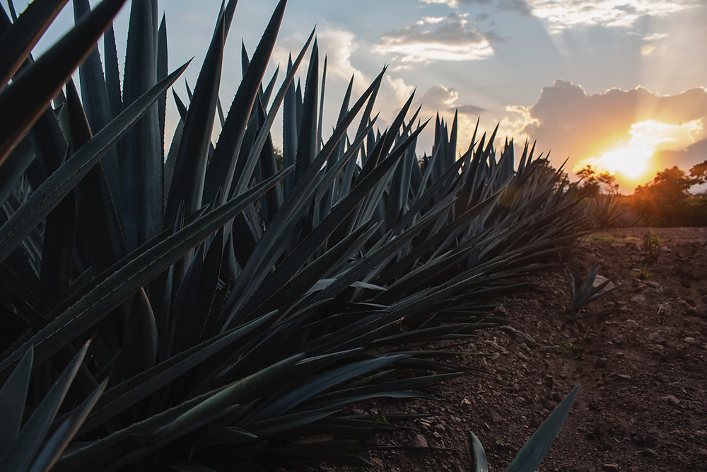 Agave Plant at Sunset