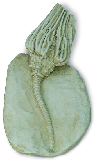 A 5 IN CRINOID