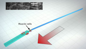 Synthetic Swimming Bio-bots – University of lllinois  Engineers Innovate Again