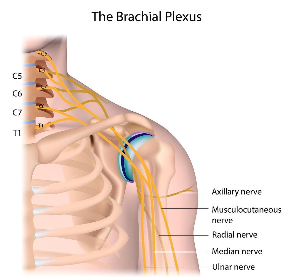 Brachial Plexus | Brachial Plexus Birth Injury