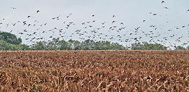 Young County Texas Dove Hunts