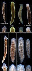 Tufts biologists induced one species of flatworm -- G. dorotocephala, top left -- to grow heads and brains characteristic of other species of flatworm, top row, without altering genomic sequence. Examples of the outcomes can be seen in the bottom row of the image.Center for Regenerative and Developmental Biology, School of Arts and Sciences, Tufts University.