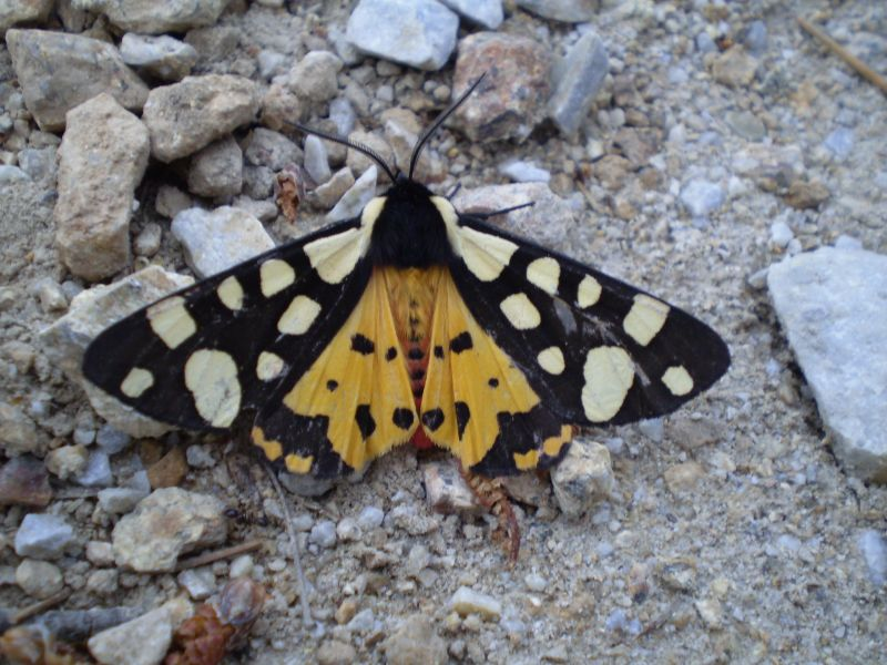 Iron butterfly in Ikaria