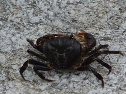 Crab in Ikaria