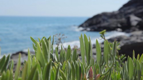 Herbs of Ikaria - Collecting and harvesting