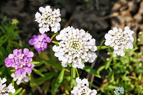 Iberis runemarkii flowers of Ikaria