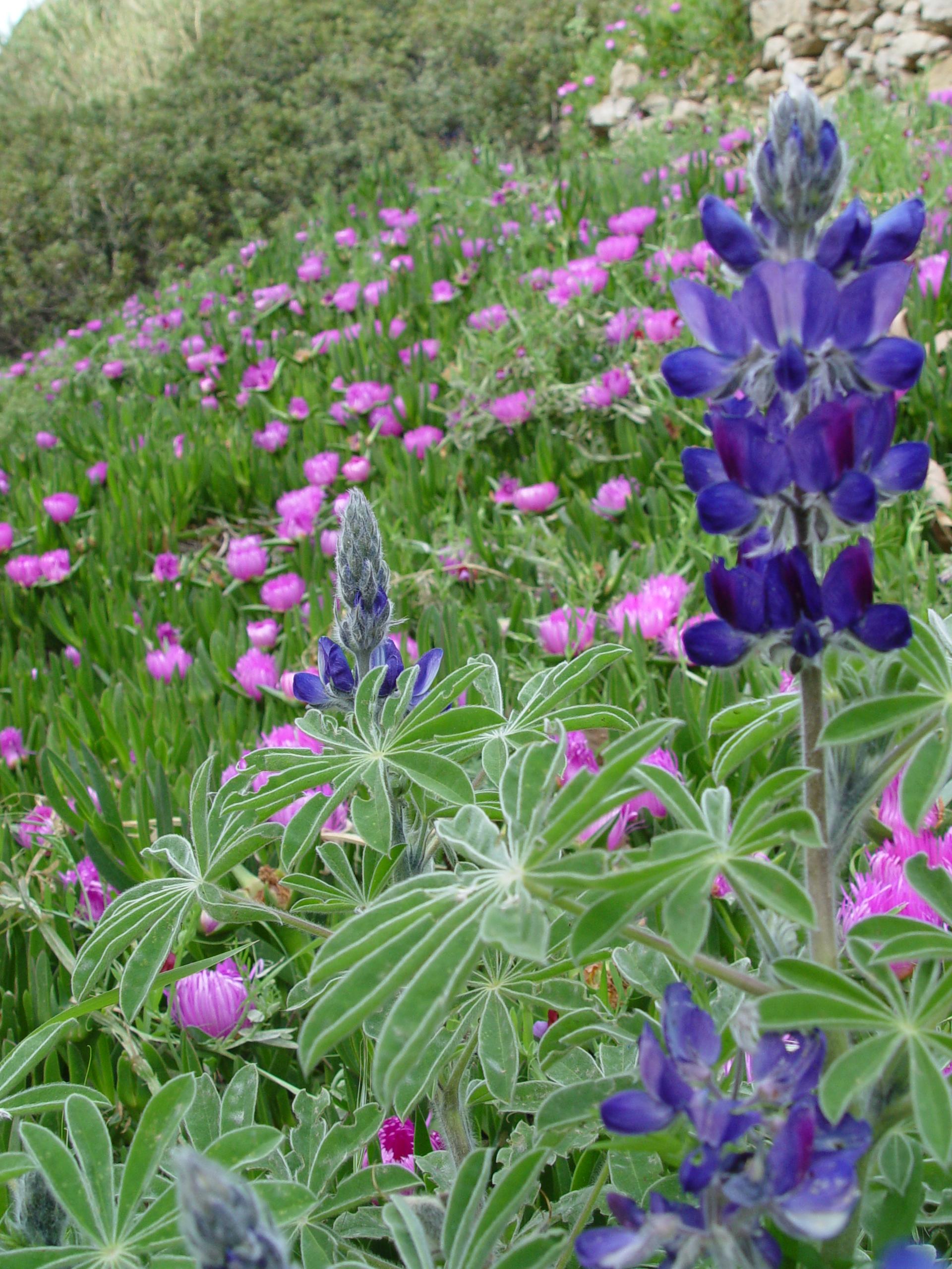 Lupin flower at Halari Canyon Ikaria
