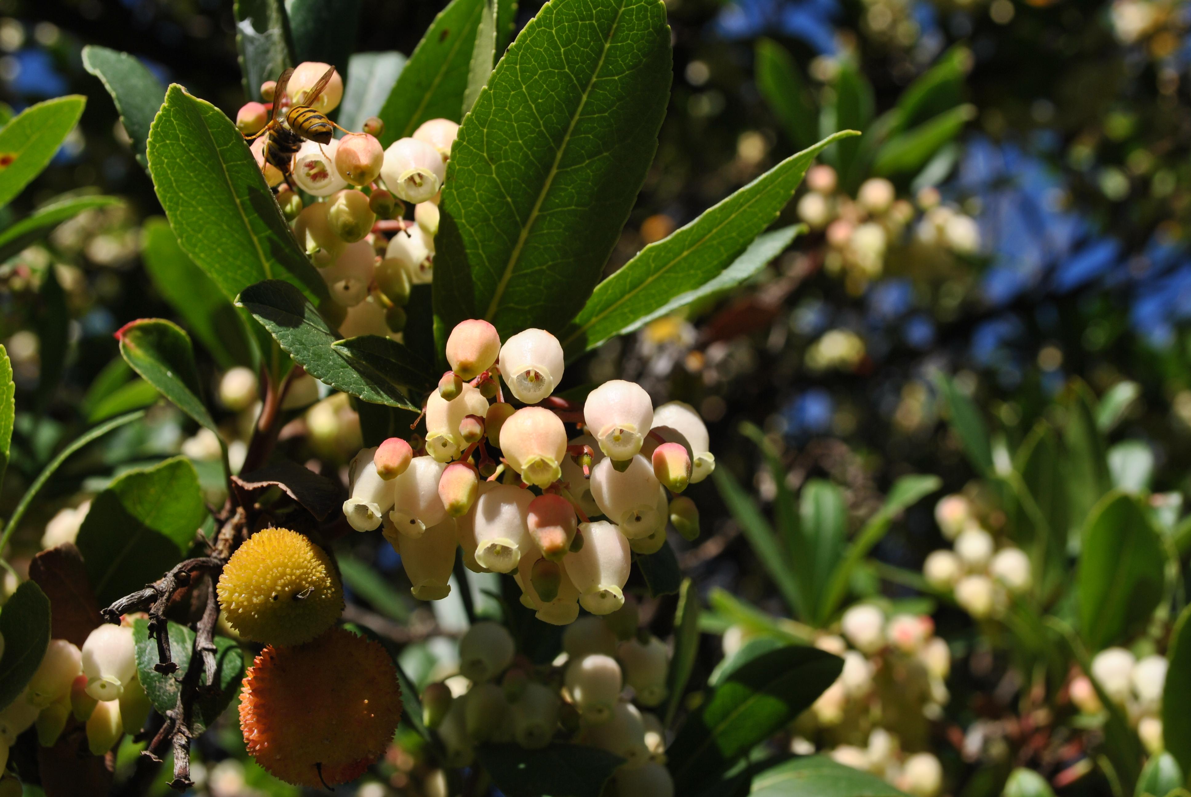 Strawberry tree in Ikaria