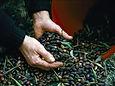 Harvest in Ikaria