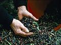 Olive harvest in Ikaria