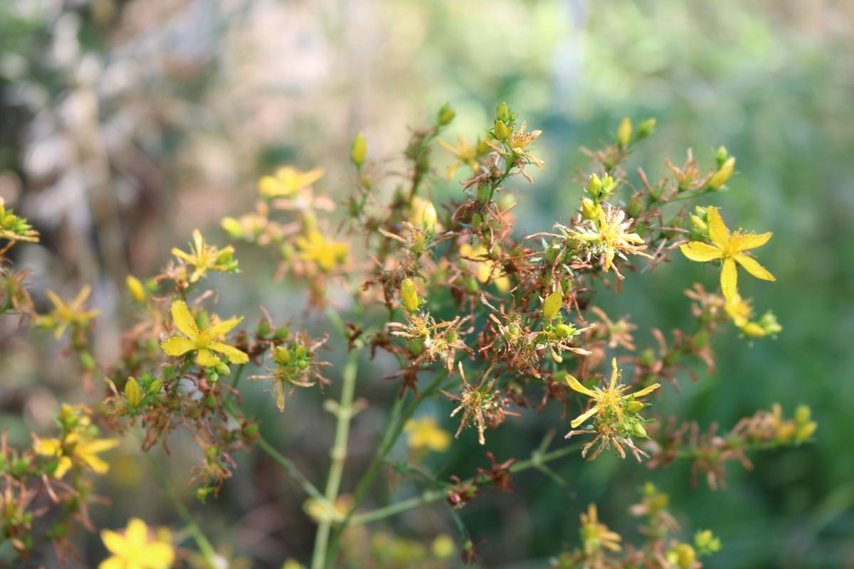 Plants in Ikaria - St. John's wort