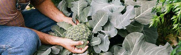 Organic gardening in Icaria