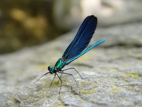 Beautiful demoiselle in Ikaria