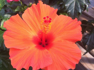 New 2018 Arrival - Tropical Hibiscus