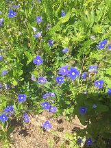 little blue flowers.jpeg