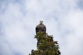 Eagle_Face.jpg