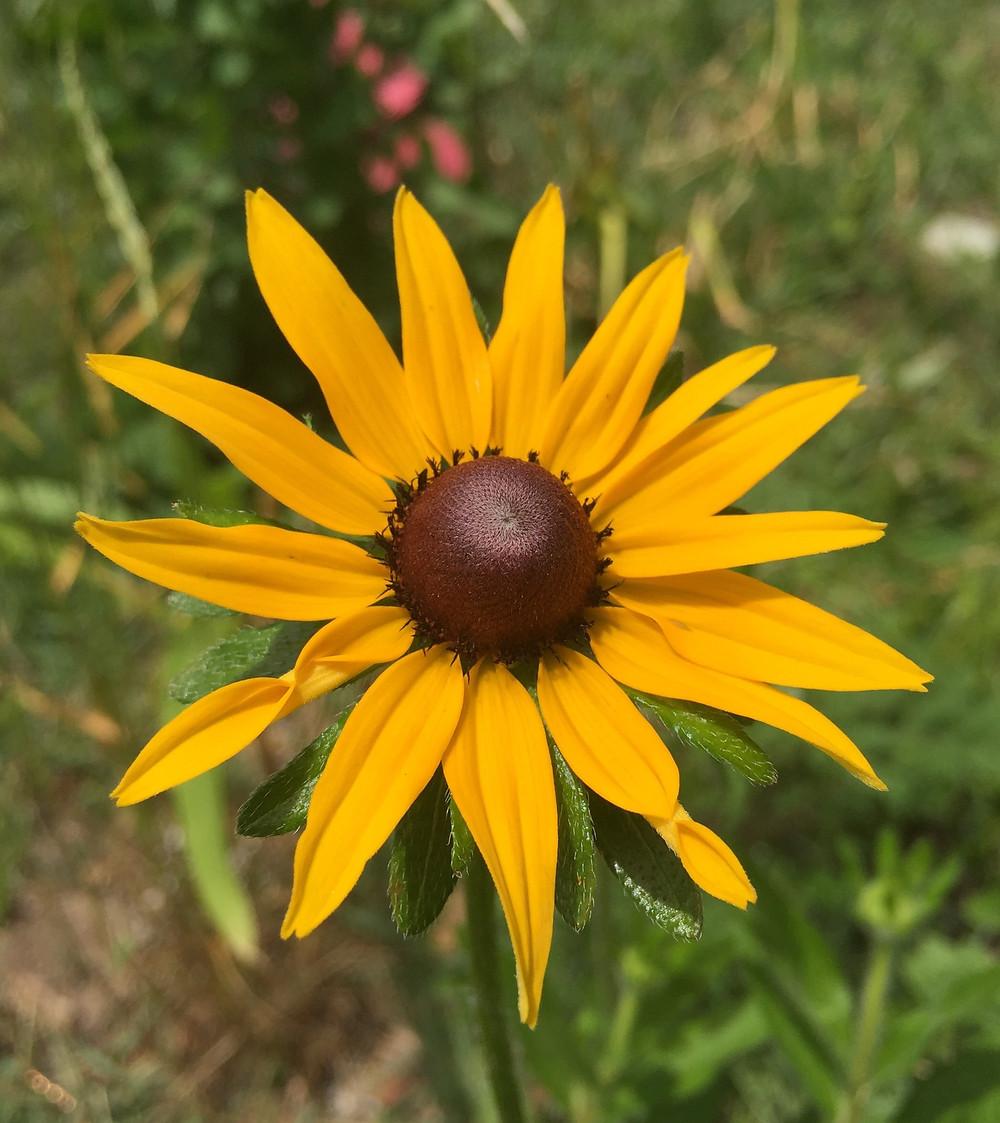 Rudbeckia Flower Identity?