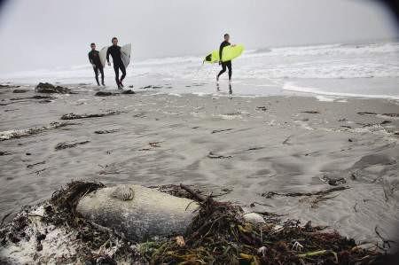 Harbor Seals Died along the New England coastline