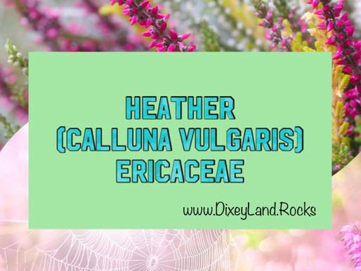 Heather, Calluna Vulgaris, Ericaceae
