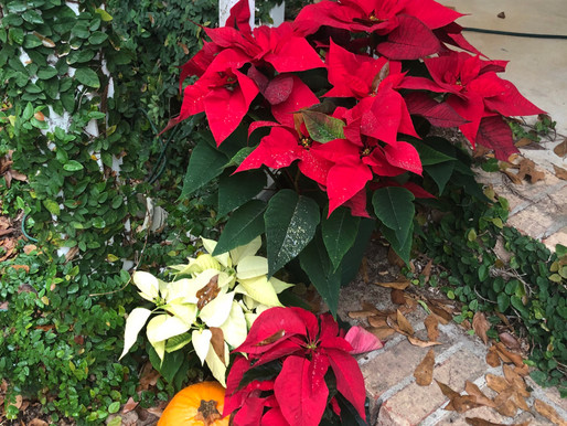 Fun, Festive, Bright Poinsettias