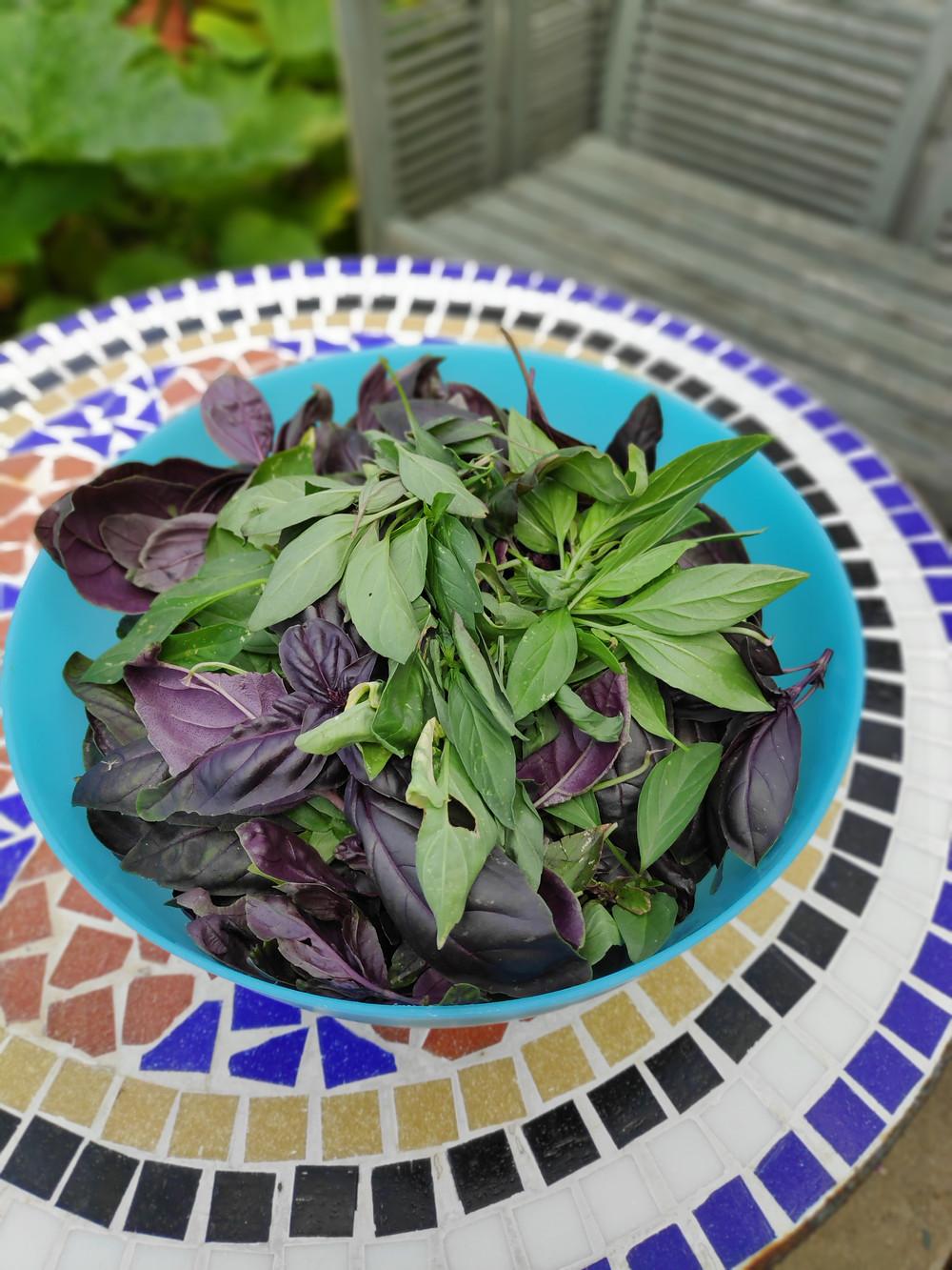 Fresh Picked Crimson King Basil Leaves