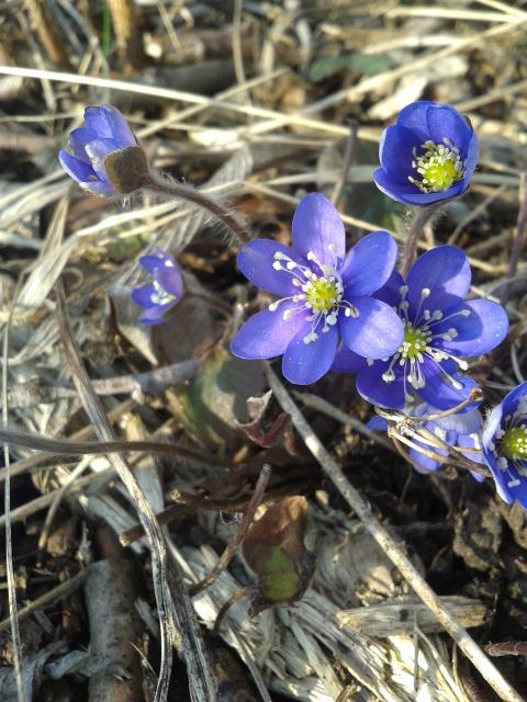 Blåsippa på våren