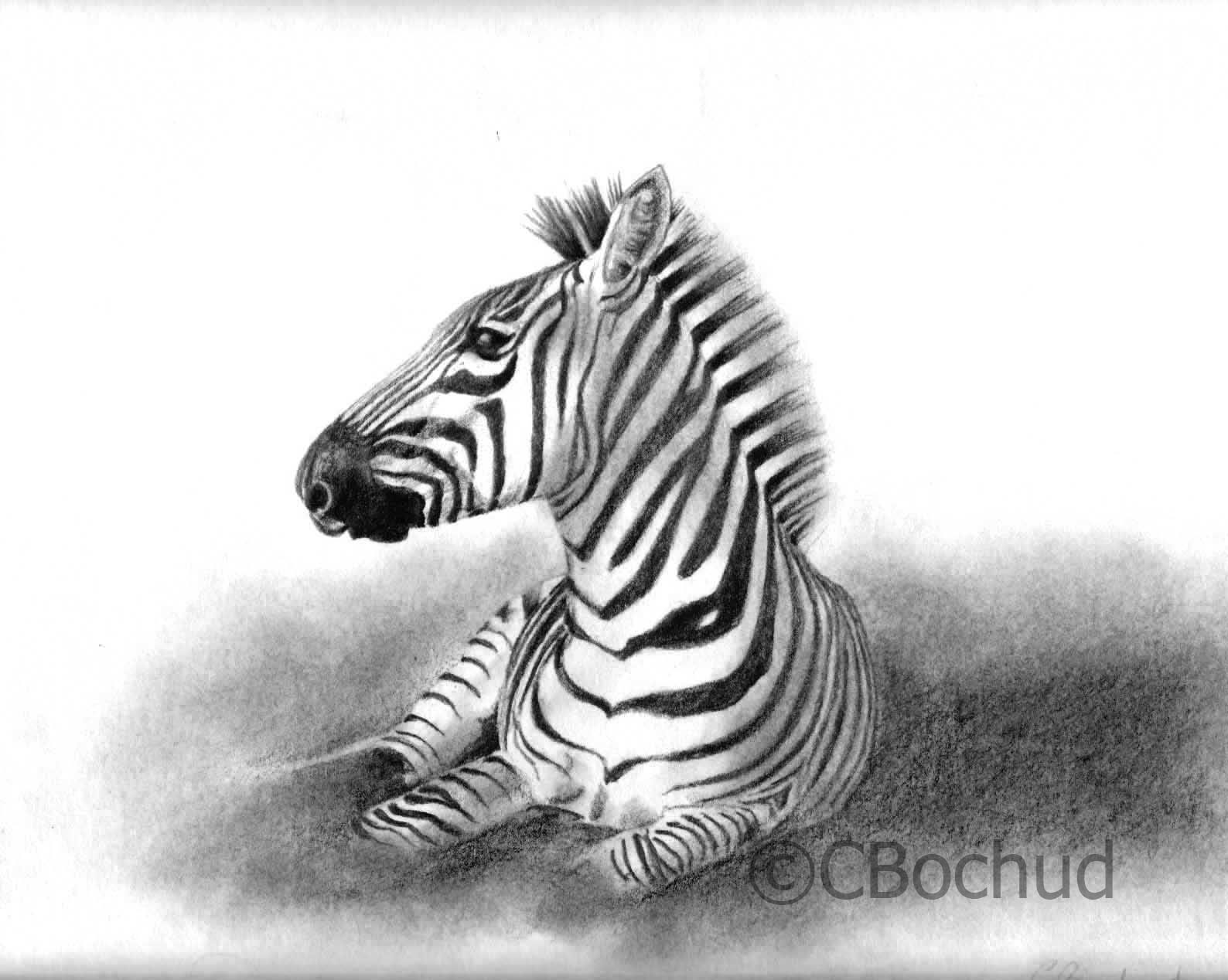 zebre, zebra
