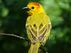 Exotic Yellow Bird, Oiseau jaune