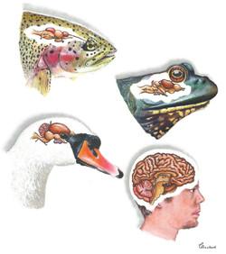 Evolution, brain physiology