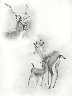Koudou, kudu, gazelle