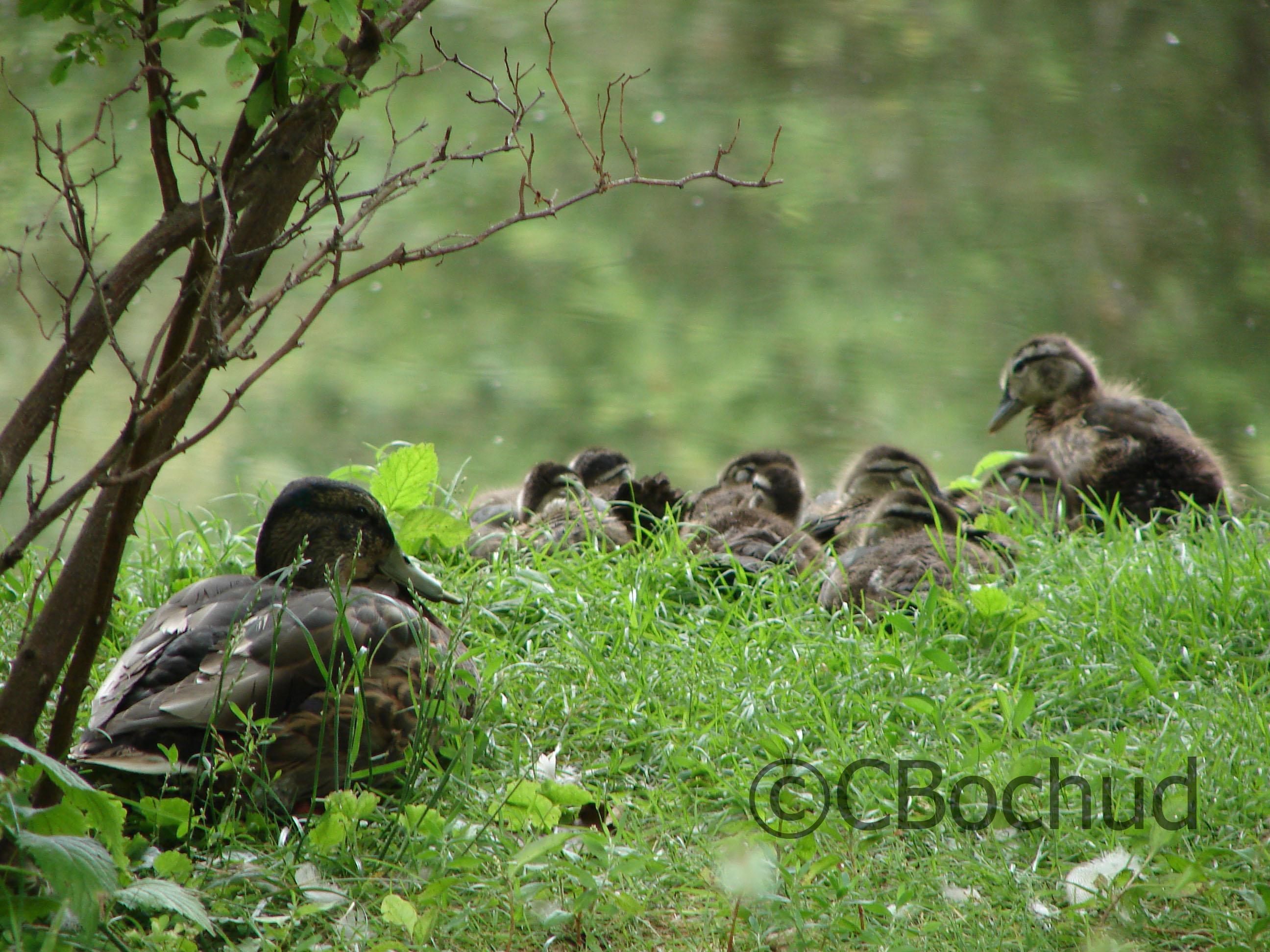 Duck family, famille de canard