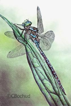 Libellule Dragonfly