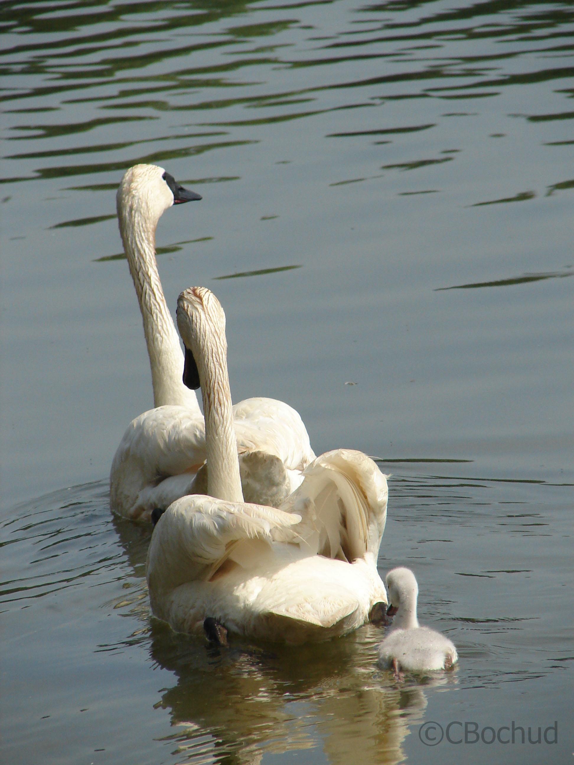 Cygnes en famille, Swan family