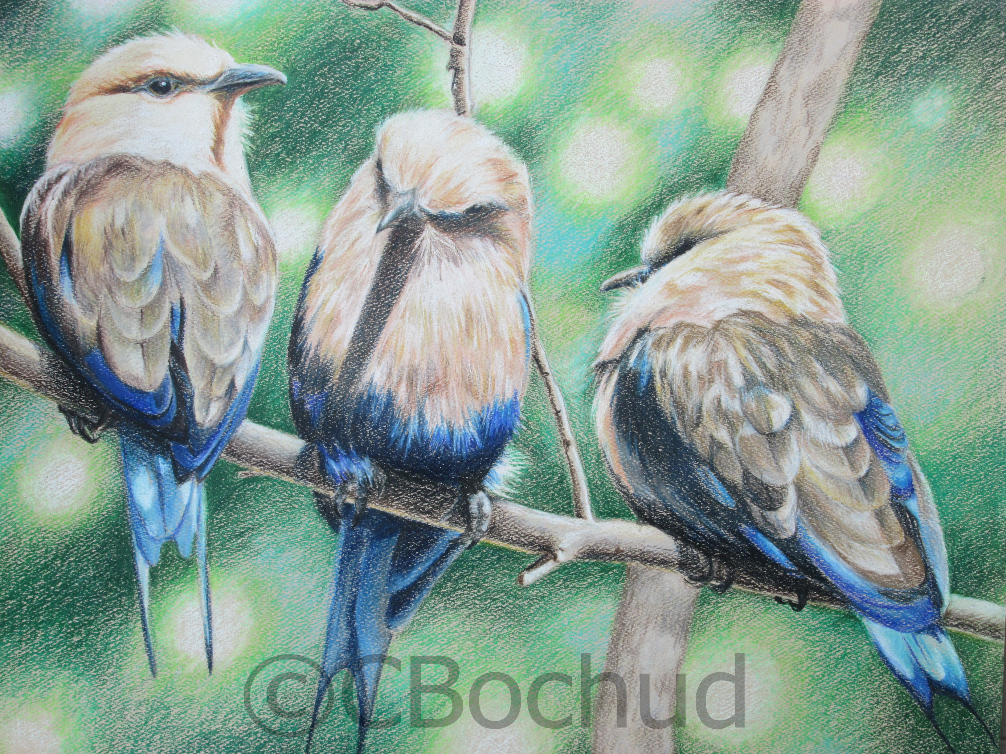 Trio  -  Blue bellied roller -bird