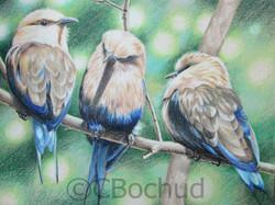 Trio  -  Blue bellied roller -bird