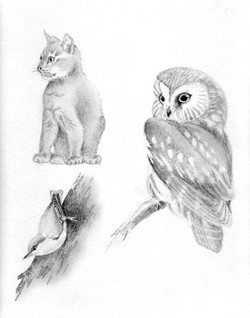 Abyssin, Sitelle, nyctale boreal owl