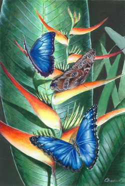 Heliconia Morpho Papillon Butterfly