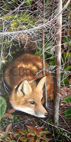 Renard roux, red fox