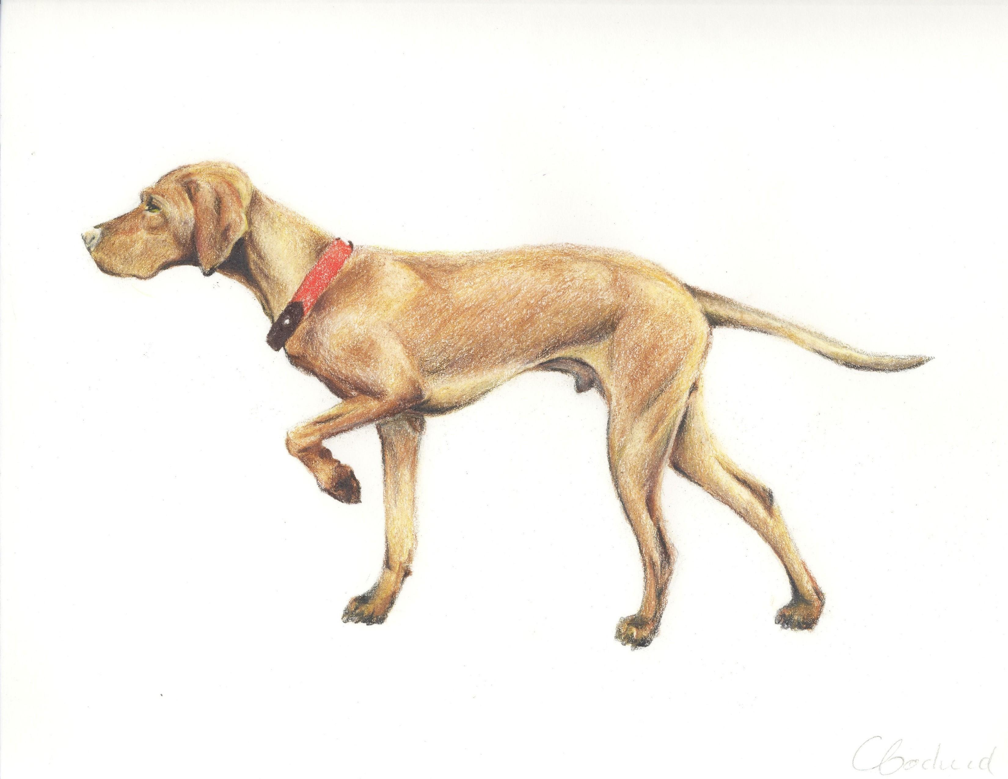 Braque hongrois chien dog
