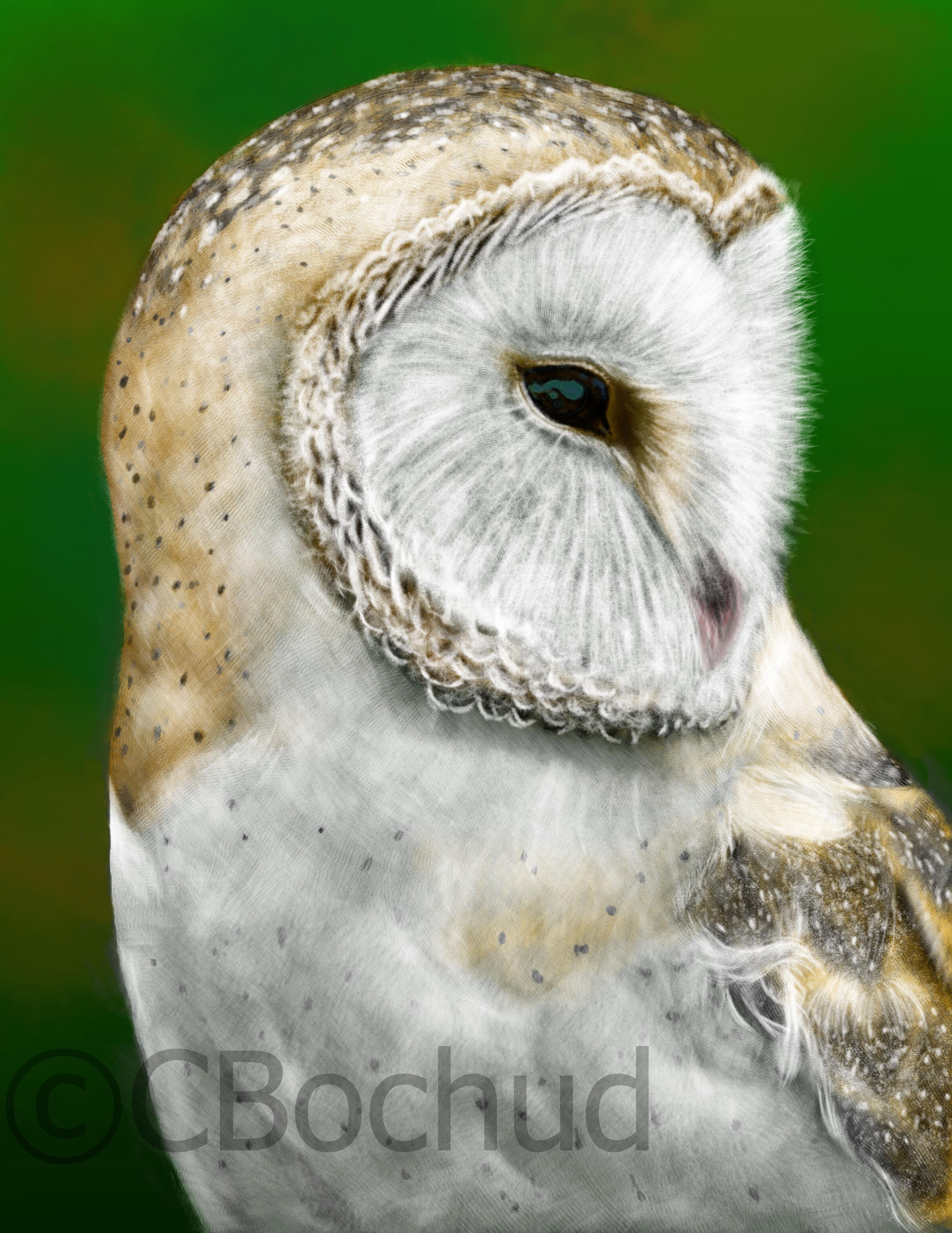 Effraie des clochers, barn owl