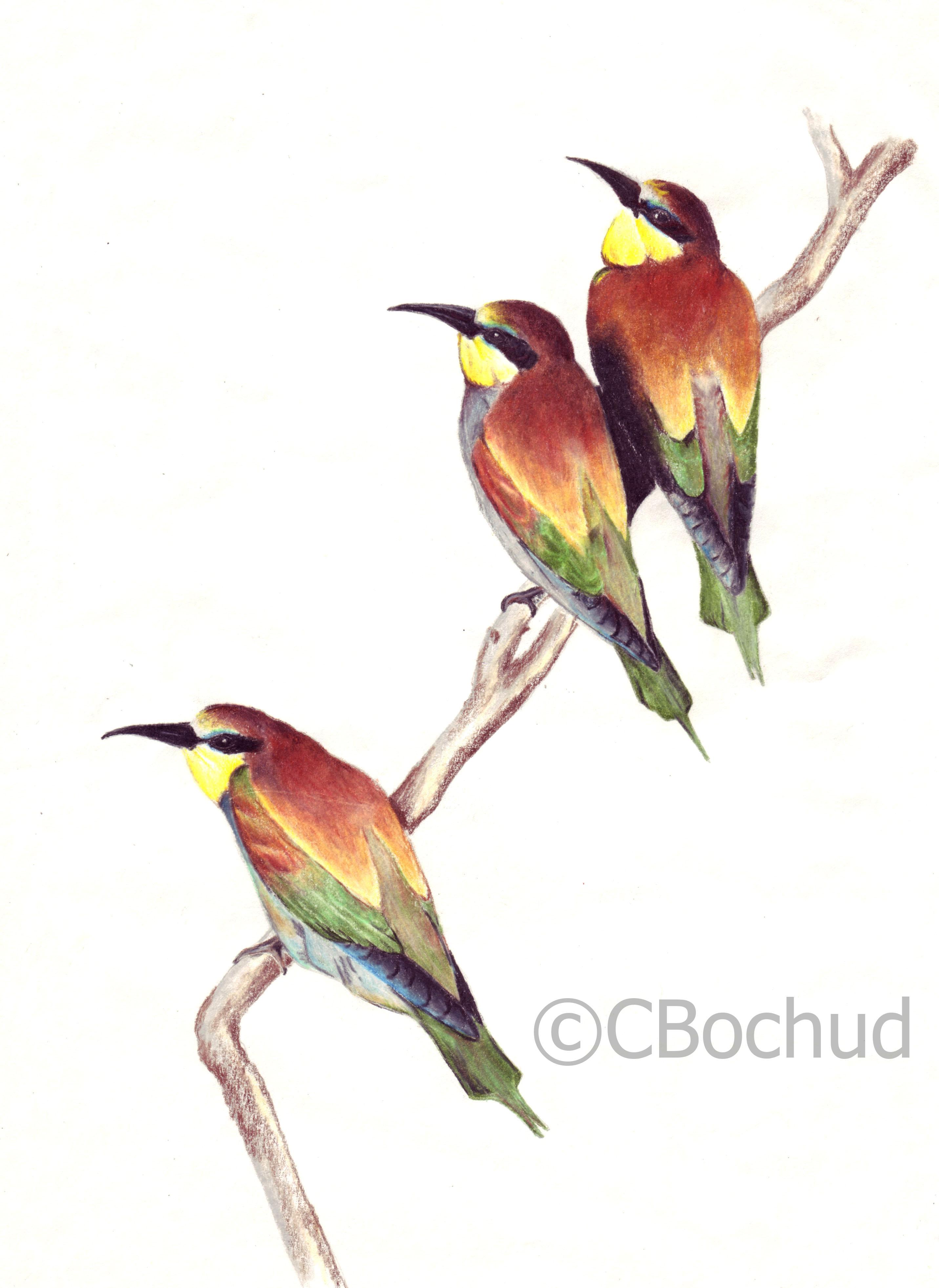 Trio- Coraciidae tropical bird