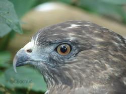 Royal Eagle, aigle royal
