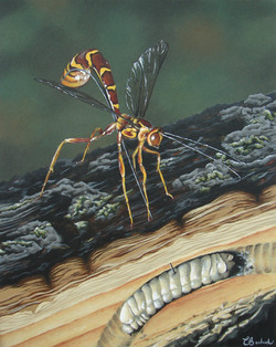 Rhysse cannelle, Insect, wasp