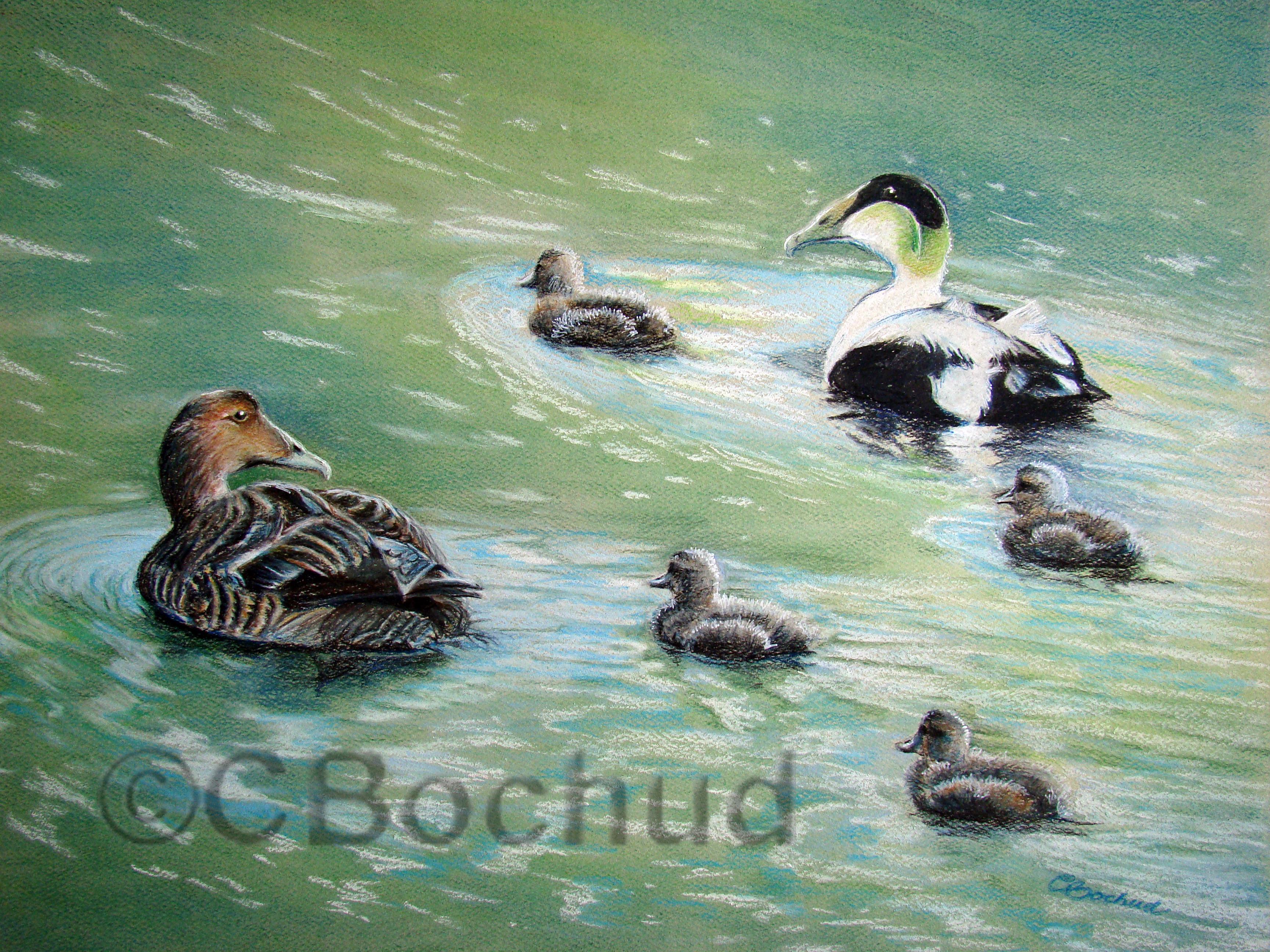 Eiders en famille- Eider duck family