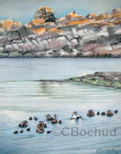 Habitat de L' eider- duck habitat