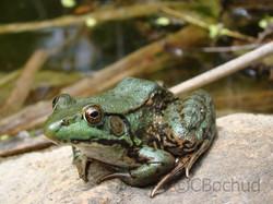 Green Frog, grenouille verte